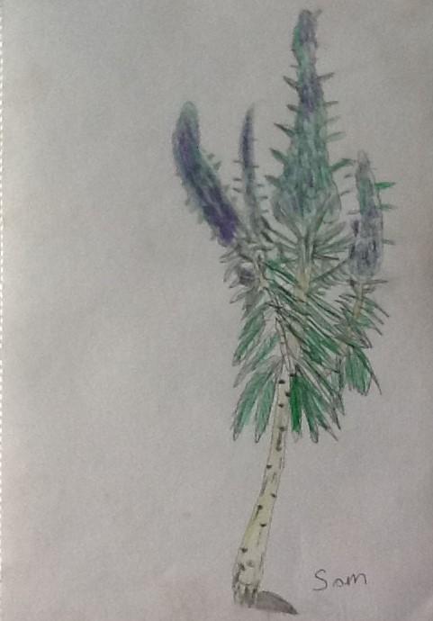Pencil Crayon Drawing: Echium - Samuel Middleton